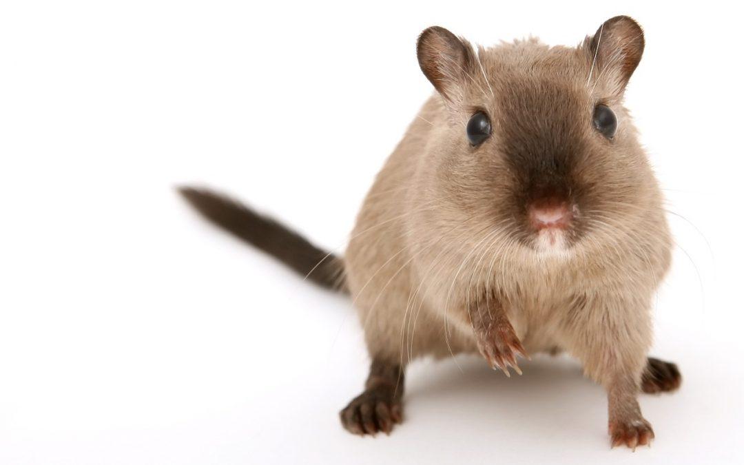 Servei de desratització: les malalties que poden contagiar-nos les rates