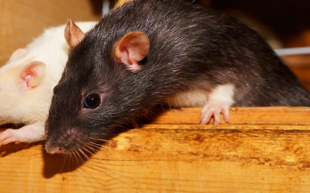 Plagas de ratas, un grave problema para la salud